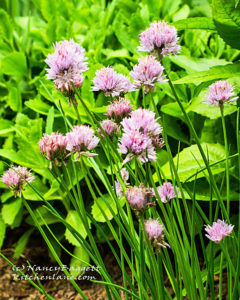 bloomingchives756crop-72_edited-2