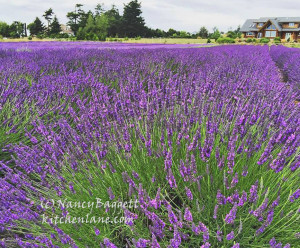 lavenderwindfarmcrop72WM_edited-1